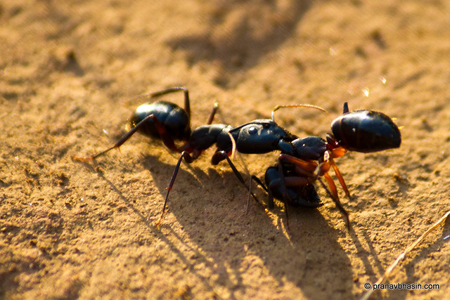 The Ant Fight