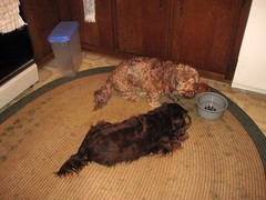 dog chien pet frank hound canine dachshund perro hund link wienerdog dackel teckel k9 doxie sausagedog dogseating aplaceforportraits pointyfaceddog