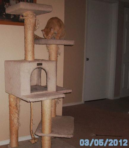 Mango checking out the new cat-tree