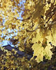 Autumn in yellow (Alexey Subbotin) Tags: autumn kodakporta160nc nikonf100 nikkoraf50mmf14d leaves autumnleaves yellow sky