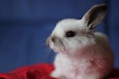Panzanella (ElenaScopetani) Tags: rabbit bunny conejo enano belier coniglietto conejoenano