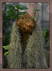 Bromeliaceae - USA Virginia to Florida and Texas (KF-Photo) Tags: gesicht beatle tbingen haare botanischergarten langhaariger