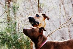 (the fragile.) Tags: friends portrait dogs mix pitbull terrier american boxer doberman staffie staffordshirebullterrier alert pinscher highqualitydogs