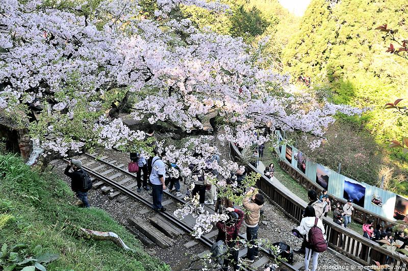 阿里山櫻花季30