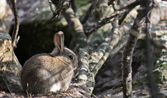 lapin 1 (lorss29 (pause )) Tags: lapin bzh finistre pennarbed stpoldelon lorss29