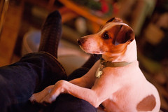 Restful Paws (joshames) Tags: christmas dog home michigan lansing jackrussellterrier griz 2011 grizwald