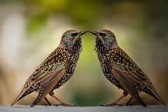 Be my Valentine ;o) (izzy's-photos) Tags: bird love photoshop bristol zoo kiss starling valentine duplicate flipped sturnusvulgaris birdperfect blinkagain highqualityanimals