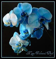 Blue Mystique Orchid (ctofcsco) Tags: usa plant flower macro nature canon eos colorado unitedstates bokeh 100mm explore 7d co northamerica usm f28 marki mark1 ef100mmf28macrousm ef100mm eos7d allofnatureswildlifelevel1 allofnatureswildlifelevel2 allofnatureswildlifelevel3