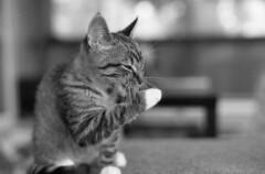 film 47, frame 13 (Mya Jamila) Tags: blackandwhite bw cat paw kitten bokeh tabby tail ears whiskers grayscale washing greyscale mushu