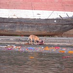 "Dog Eating a Carcass, Ganges River <a style=""margin-left:10px; font-size:0.8em;"" href=""http://www.flickr.com/photos/14315427@N00/6879415517/"" target=""_blank"">@flickr</a>"