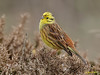 Yellowhammer (roychurchill) Tags: bird birds canon wildlife ngc devon northdevon yellowhammer peregrino27life