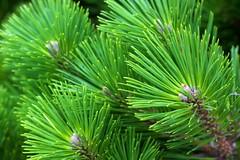 Pine needles (Deb Jones1) Tags: park travel trees macro green beauty canon garden botanical flora australia places vista flickrduel debjones1