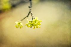 European Cornel (~ Maria ~) Tags: flowers texture nature yellow spring dof bokeh buds cornel cornusmas europeancornel