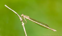 White-legged Damselfly (Platycnemis pennipes) (female) Mark Elvin (Wildlife-Galleries) Tags: female whiteleggeddamselfly platycnemispennipes markelvin