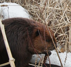 A Hungry Beaver's Snack Bar! (silverbox2: Willow Is Purring) Tags: nature deleted click clck naturesworld showthebest naturesribbon doublestaraward chileneedsyourhelp natureliveadevotiontonature allthatsbeautiful worldheartaward calaradomangbunwantedmember