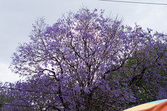"Jacaranda • <a style=""font-size:0.8em;"" href=""https://www.flickr.com/photos/7515640@N06/6897298768/"" target=""_blank"">View on Flickr</a>"