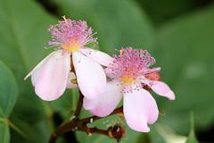 IMG_8866 (ppaulinesm) Tags: pink flowers flower macro nature gardens canon garden flora oz australia brisbane 100mm qld queensland botanic dslr 600d 100mmf28lmacro hennysgardens