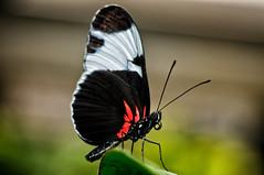 Butterfly (Jim Skovrider) Tags: macro denmark zoo nikon micro nikkor makro danmark randers randersregnskov colorefexpro niksoftware sb900 adobephotoshoplightroom 105mmf28gafsvrmicronikkor d300s nikond300s highqualityanimals