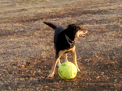 My Big Ball II (Monja  con  patines) Tags: dog cute animal ball mutt play perro tennis tenis juego hipo mascota pelota perrita perra