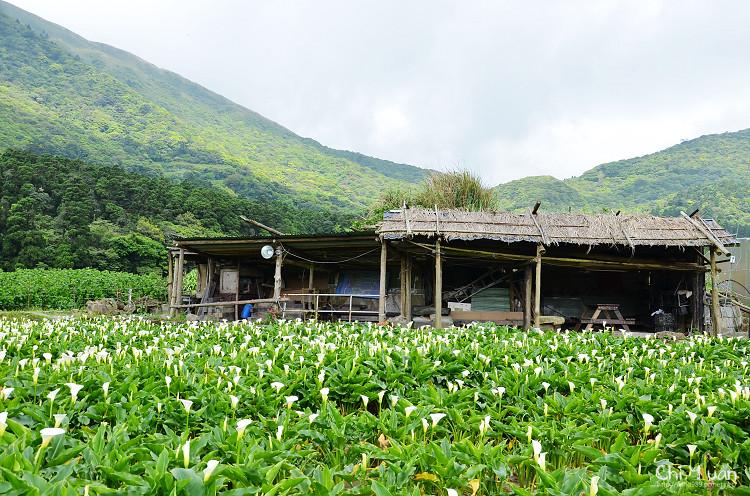 2012竹子湖海芋季13.jpg