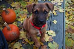Mac! (thisisbrianfisher) Tags: autumn dog pet cute fall beagle halloween face leaves puppy pumpkin leaf eyes brian pumpkins adorable fisher germanshepherd adopted brianfisher thisisbrianfisher