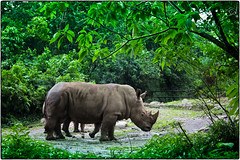 - The Rhino (Rakan - J) Tags: rhino  the