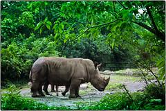و حيد القرن  - The Rhino (Rakan - J) Tags: rhino و the حيوانات حيوان القرن حيد خرتيت كركدن