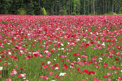Avast!  Poppies Ahoy!! (Ian Sane) Tags: flowers field saint angel oregon landscape ian photography colorful driving images mount poppies ahoy avast sane benedict