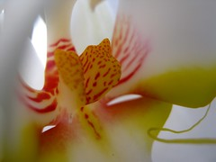 sensual (SS) Tags: camera city light red italy white orchid flower macro beautiful yellow composition contrast canon tivoli focus colorful soft view angle bokeh pov details perspective powershot sensual fiore bianco tone lazio a480 fleursetpaysages