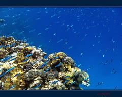 Snorkeling in Red Sea (Jambo Jambo) Tags: sea mare underwater redsea egypt sharmelsheikh snorkeling pesci reef fishes egitto barrieracorallina marrosso rasmohammednationalpark grandemaregroup jambojambo mygearandme mygearandmepremium mygearandmebronze mygearandmesilver mygearandmegold mygearandmeplatinum mygearandmediamond samsungwp10 pescifucilieridisuez suezfusieliers