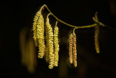"2012_366061 - Catkins • <a style=""font-size:0.8em;"" href=""http://www.flickr.com/photos/84668659@N00/6944006109/"" target=""_blank"">View on Flickr</a>"