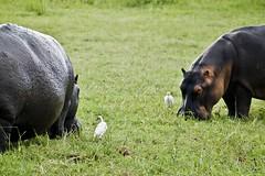 The Hippos meet the Storks (Jack Zalium) Tags: africa northwest safari botswana kasane overland gamedrive greatadventurepeople gapadventures gadventure overlandsafari nellumazilu