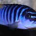 Metriaclima sp. 'zebra chilumba' Luwino Reef
