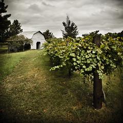 Muscadine (remy fauxtog) Tags: barn vintage photography wine alabama remy muscadine