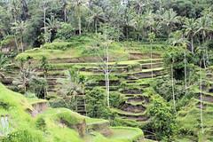 Sawa-Udung nabij Bangli (Gerd-Brunssum (time out)) Tags: bali stonecarving carving kofi ricefield indonesie ubud sawa houtsnijwerk luwak excapture