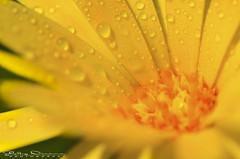 The golden spring (Jokermanssx) Tags: sardegna flower primavera yellow spring giallo dew fiore rugiada molentargius sardinya riccardodeiana