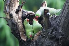 Rose-ringed Parakeet (Somesh Goyal) Tags: rose delhi parakeet ringed goyal somesh