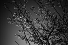 night sakura (Chen Yen-Chi) Tags: motion tree night cherry step sakura gif
