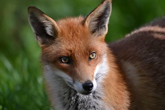 Red Fox (Vulpes vulpes) (Col-page) Tags: