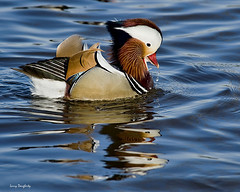 Mandarin duck on blue water.......D700 (Larry Daugherty) Tags: nature duck nikon louisiana 100v10f mandarin kenner mandarinduck aixgalericulata d700 perchingduck asianduck kennercitypark mygearandme nikkor300mmf4lens nikkor14xtc rememberthatmomentlevel1