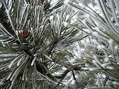Winter Tree (Prince Without Bagpipes) Tags: winter tree pine washington frost