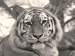 Siberian Tiger @ Port Lympne (gillsfanjohn) Tags: tiger siberian flickrbigcats