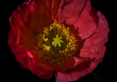 Oasis In a Poppy (Bill Gracey) Tags: lighting flowers red flores green nature fleur blackbackground sb600 highcontrast softbox dramaticlighting strobe sidelighting macrolens macrophotography mohn sidelit strobes amapolas coquelicots icelandicpoppies darkbackground offcameraflash pavots nikoncreativelightingsystem nikoncls tabletopphotography sb700