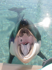 Free fall 2 (Stefanos1313) Tags: sea man fall animals tongue mouth giant jump soft teeth maw free whale orca vore