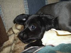 HPIM0348 (Primespot Photography) Tags: dog canada dogs puppy puppies bc britishcolumbia dachshund puppys doxie dashchund fraservalley lowermainland weinerdog chihuahau chiweenie dashie
