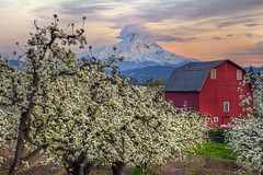 Red Barn in Pear Orchard in Hood River Oregon at Sunset - HDR (David Gn Photography) Tags: trees sunset nature clouds oregon landscape drive spring farm sunday scenic orchard columbiariver pear flowering gorge mounthood hdr redbarn fruitloop hoodriver 3xp canoneos60d sigma2470mmifexdghsm
