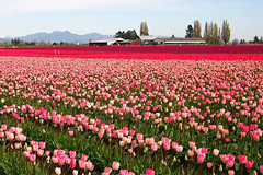 Skagit Valley Tulip Festival (Explored) () Tags: pink flowers red usa colorful tulip wa tulipfield skagitvalley skagitvalleytulipfestival tuliptown m43 primelens mirrorless microfourthirds lumix20mmf17 olympuspenep3