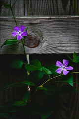 Modesty (The LightCatcher) Tags: shadow flower color nature fence petals blossom intimate canonef28105mm canon400d