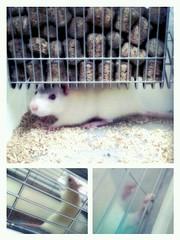 Lab mouse (3nooOoona) Tags: cute mouse rat lab science kuwait 2012 q8 الكويت جامعة كلية العلوم تشريح تجربة تجارب مختبر فأر جرذ flickrandroidapp:filter=sydney
