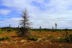 The peat bog (Orion 2) Tags: canada nature clouds landscape juniper morninghike tamarck newfoundlandandlabrador boglaurel stuntedblacksprucetrees